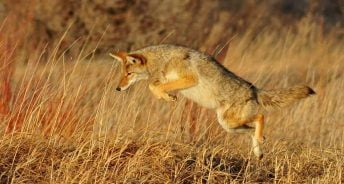 How to Hunt Coyotes at Night?