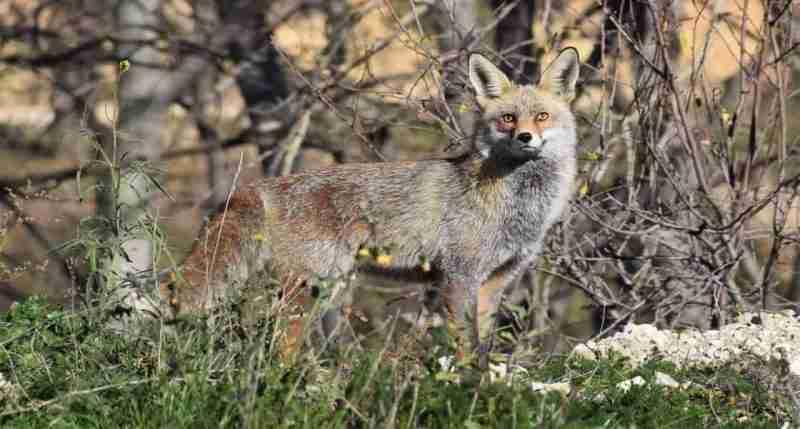 mejores llamadas electrónicas de coyote